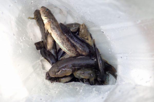 百均浪漫◆ダイソー 釣り竿セット約2m。ハゼ釣り。